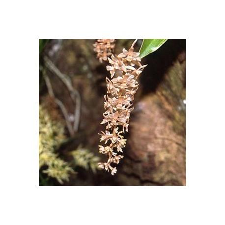 Dendrochilum convallariaeforme 'Minor '