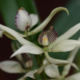 Encyclia fragans