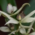 Encyclia fragans