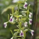 Epidendrum paniculatum
