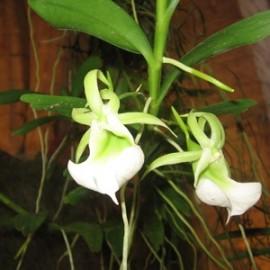 Angraecum eichlerianum