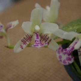 Sederia japonica