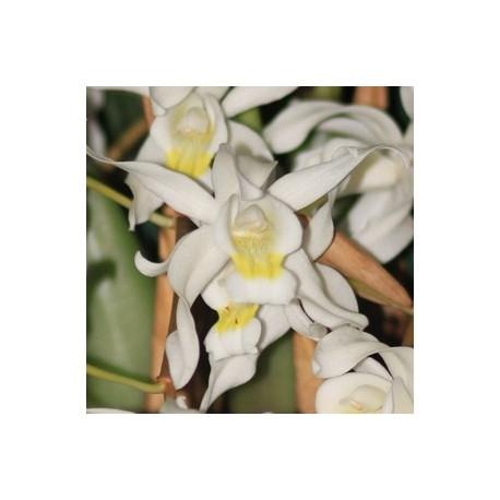Coelogyne glandulosa