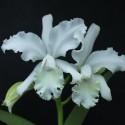 Cattleya candace Beth Shaffer Ø12-14