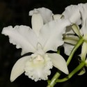 Cattleya Wendy Patterson Ø12-14