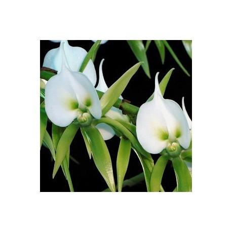 Angraecum eburneum 'germiniacum'