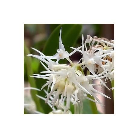 Bulbophyllum trichosepalum