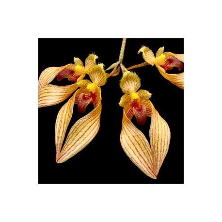 Bulbophyllum anandalei