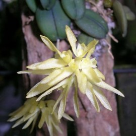 Bulbophyllum purpurascens
