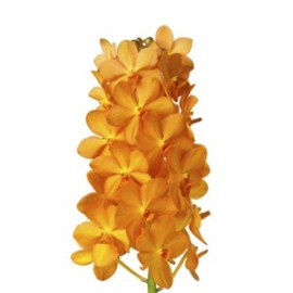 Vanda Natcha Magic Orange