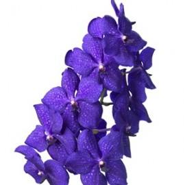 Vanda Nitaya Royal Blue