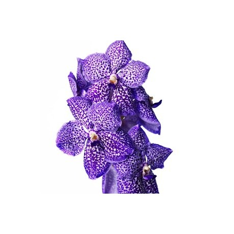 Vanda Surnanda Dotty Purple