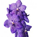 Vanda Sunanda Dotty Purple