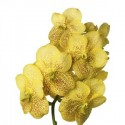 Vanda Sunanda Magic Yellow