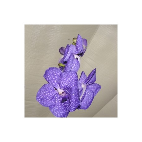 Vanda Teddy Blue