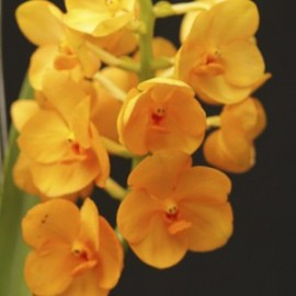 Vanda Orange Magic