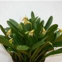 Masdevallia floribunda