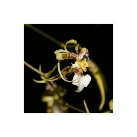 Oncidium phymatochilum