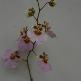 Oncidium variegatum