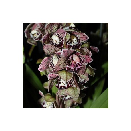 Cymbidium Magic Vogels