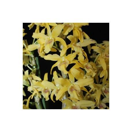 Dendrobium Stardust Chyomi