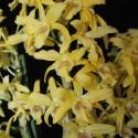 Dendrobium Stardust 'Chyomi'