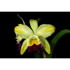 Rhyncholaeliocattleya Green Rattana'Golden Angel'