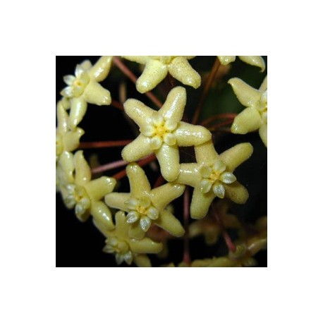 Hoya surigaensis