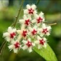 Hoya caudata 30 cm