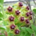 Hoya densifolia 30 cm