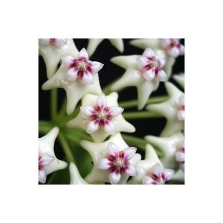 Hoya golamcoiana