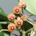 Hoya leytensis 30 cm