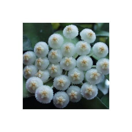 Hoya lacunosa 'eskimo'
