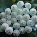 Hoya lacunosa 'eskimo' 20 cm