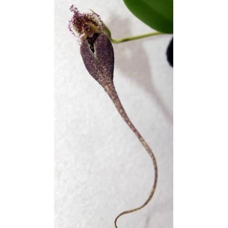 Bulbophyllum facinator Var.corazonae
