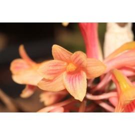 Dendrobium usitae 'Red Coral'