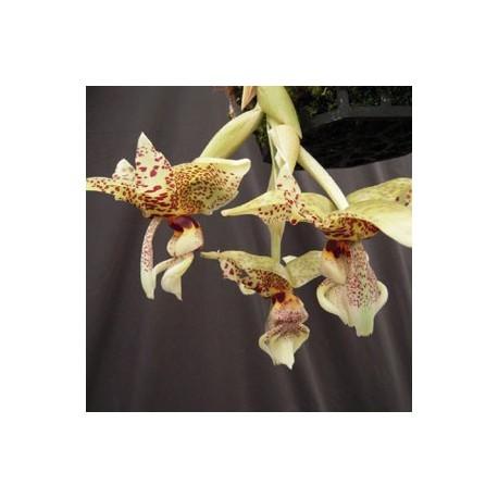 Stanhopea Assidensis (tigrina x wardii)