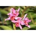 Cattleya guatemalensis