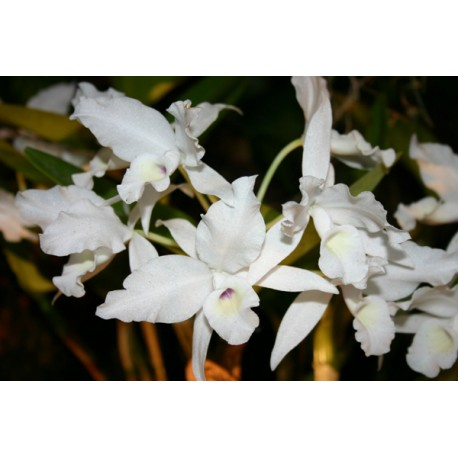 Cattleya skinneri 'alba'