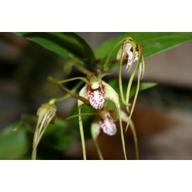 Dendrobium tetragonum