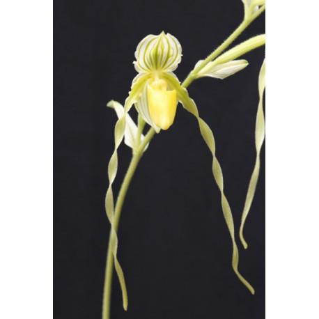 Paphiopedilum philippinense 'alba'