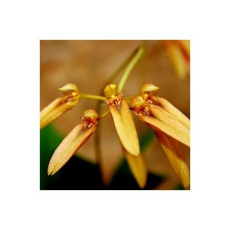 Bulbophyllum hiradense