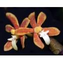 Trichoglottis orchidea