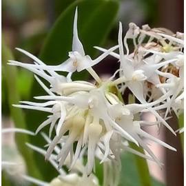 Bulbophyllum trigonosepalum var odoratissimum