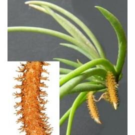 Oberonia myosurus