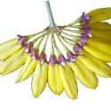 Bulbophyllum skeatianum