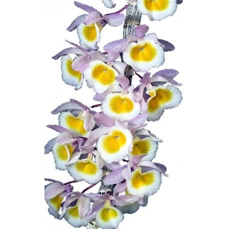 Dendrobium primulinum Laos