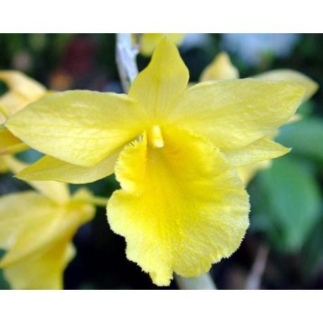 Dendrobium dixanthum