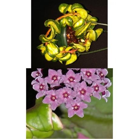 Hoya carnosa compacta variegata