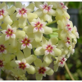 Hoya dolichosparte 30 cm